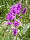 Буквица лекарственная (Betonica officinalis L. [Stachys officinalis (L.) Trevis.])